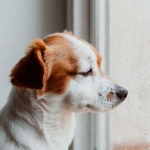 نشانه های افسردگی سگ