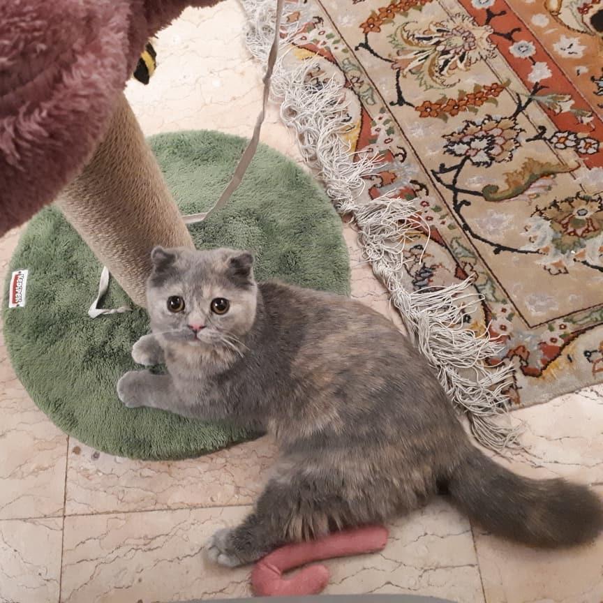 اسکرچر پامچال گربه