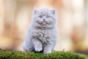 گلوله مویی در گربه