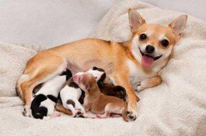 زایمان سگ ها و 10 نکته مهم که باید بدانید!