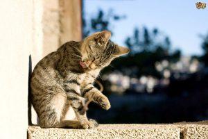 لیس زدن موی گربه و 8 دلیل مهم جلوگیری از آن